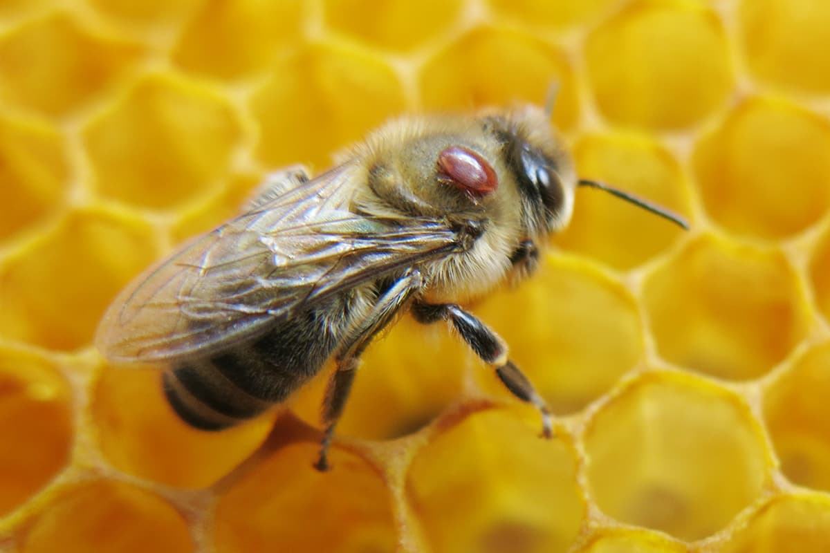 Bee on honeycomb with mite on back