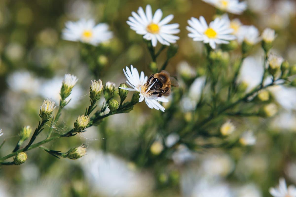 https://www.savethebee.org/wp-content/uploads/2021/08/bee-on-daisy.jpg