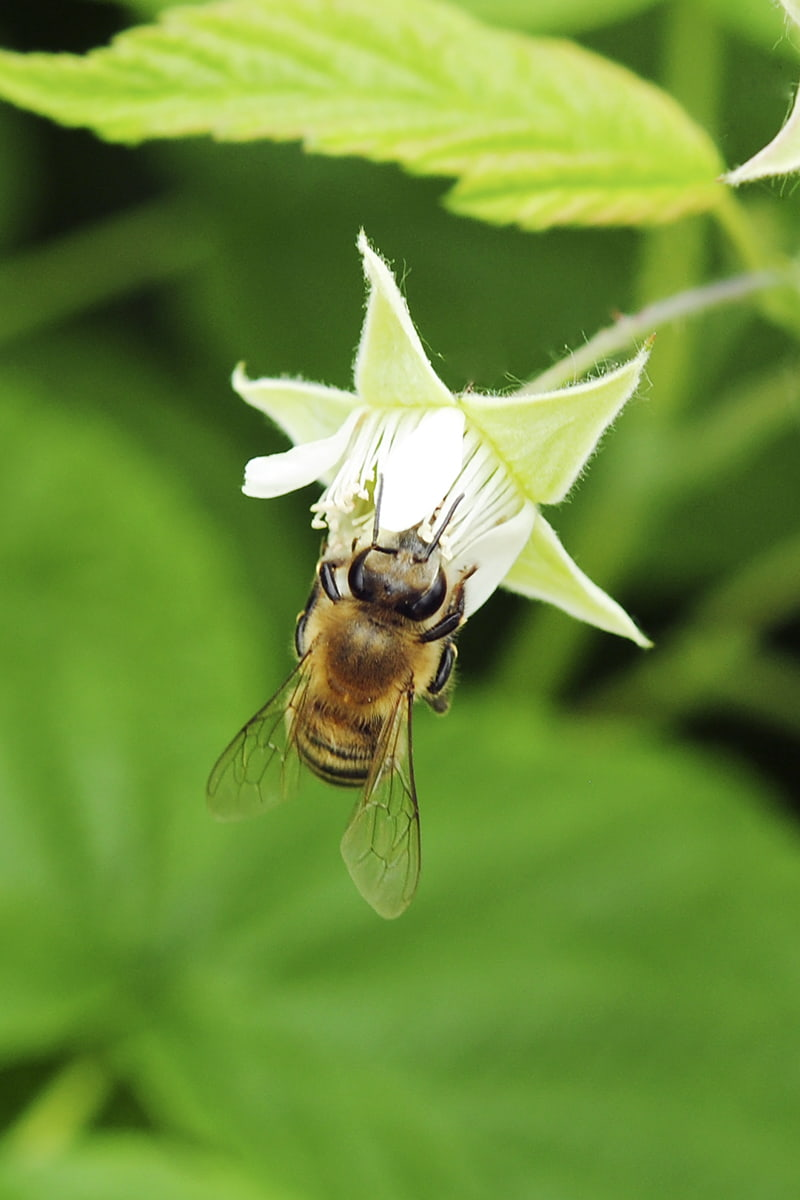 Bee on raspberry flower