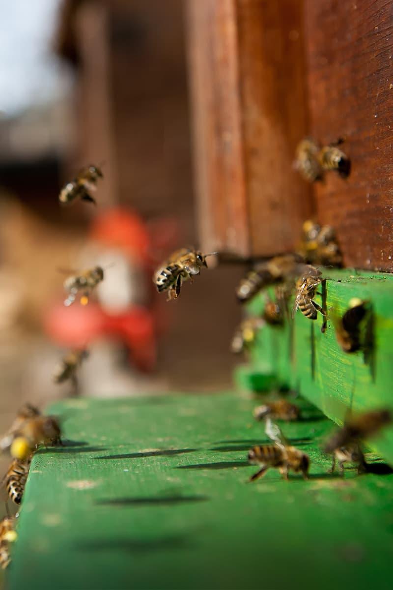 https://www.savethebee.org/wp-content/uploads/2021/08/bees-landing-on-hive.jpg