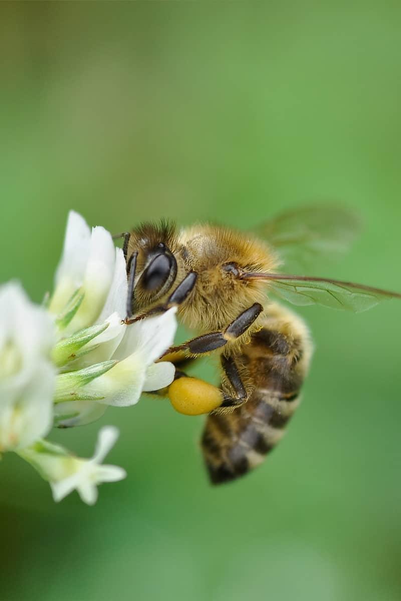 https://www.savethebee.org/wp-content/uploads/2021/08/clove-bee.jpg