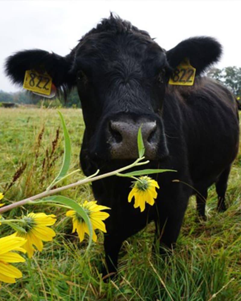 https://www.savethebee.org/wp-content/uploads/2021/08/cow-flower.jpg