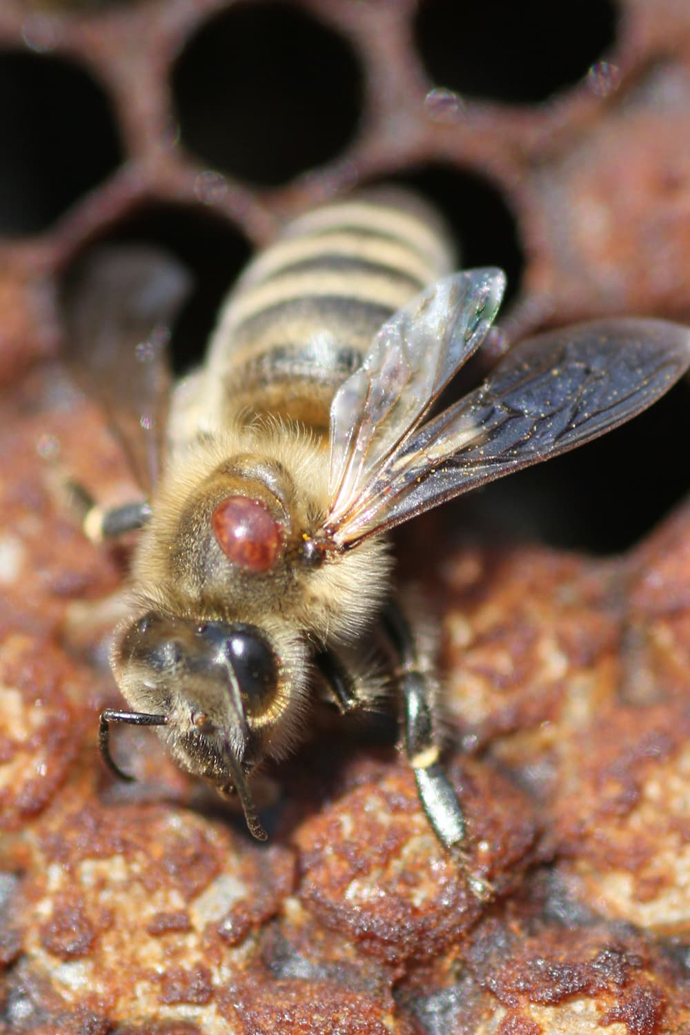Varroa mite on back of bee