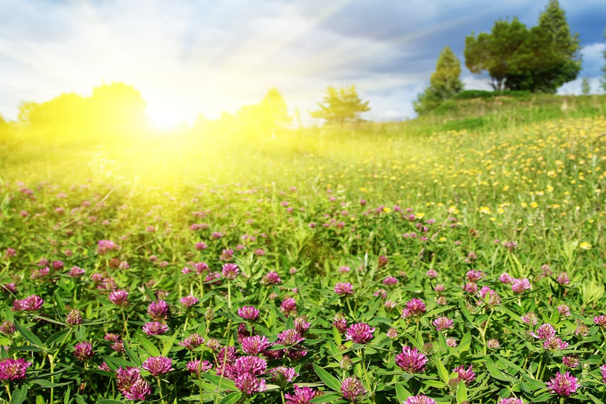Field of wildflowers with sun in background